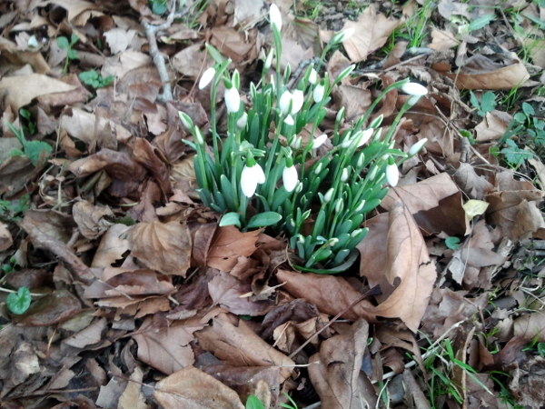snowdrops photographed this morning on All Hallows Road in Easton