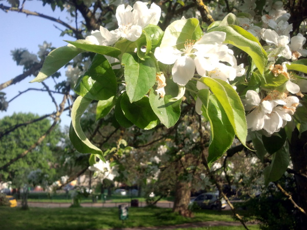 Crab apple blossom in Bannerman Road